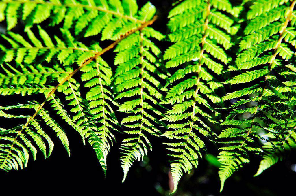 Stock Photo: 1566-1161193 Dicksonia Squarrosa New Zealand Fern