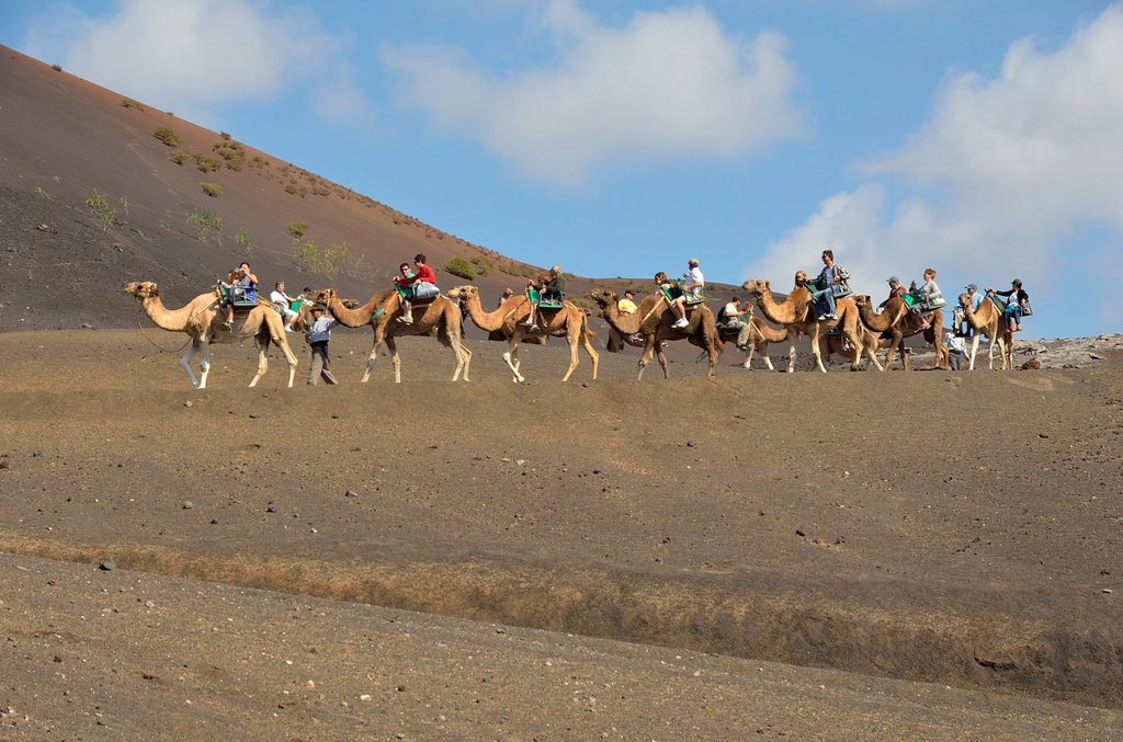 Stock Photo: 1566-1162276 Camels as tourist attractions, Timanfaya National Park Lanzarote
