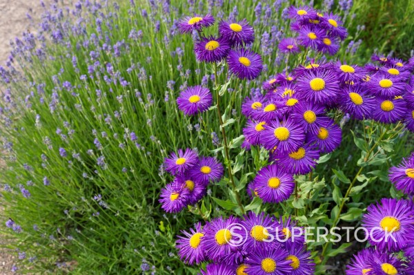 Stock Photo: 1566-1166017 Aspen fleabane Erigeron speciosus ´Dominator´ and common lavender Lavandula angustifolia