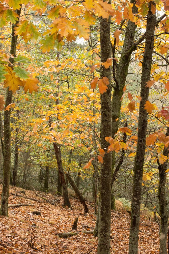 Stock Photo: 1566-1169370 American Oak Forest at Lousã Mountain, Portugal