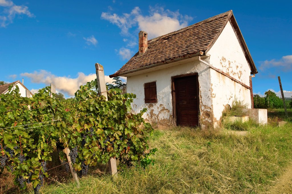 Stock Photo: 1566-1170501 Villany vineyards  Villany  Hungary