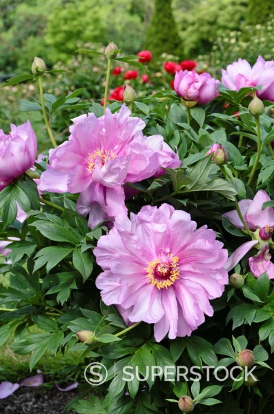 Stock Photo: 1566-1174457 Peony Paeonia First Arrival