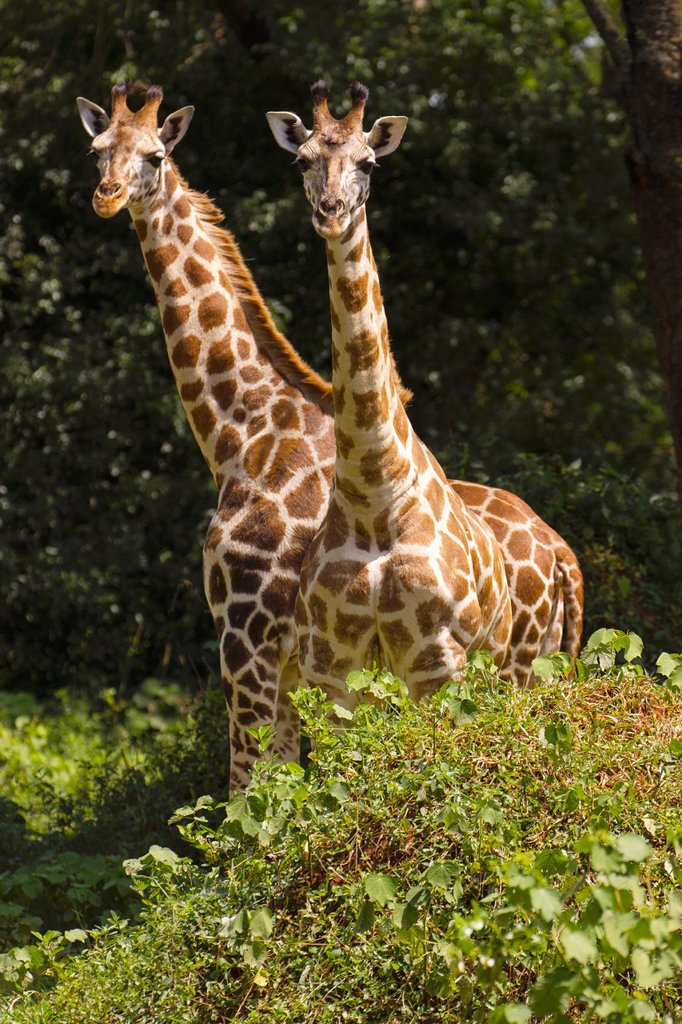 Stock Photo: 1566-1174613 Two young adult Rothschild´s Giraffe Giraffa camelopardalis rothschildi standing in Murchison Falls National Park, Uganda