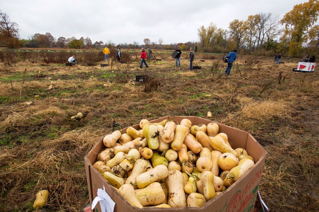 Stock Photo: 1566-1174926 Ray, Michigan - Volunteers collect leftover squash from a farmer´s field for distribution to those in need  The produce is distributed to soup kitchens, food banks, and shelters by a nonprofit organization, Forgotten Harvest