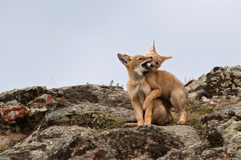 Stock Photo: 1566-1175358 Ethiopian wolf pup biting sibling