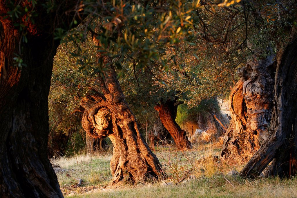 Stock Photo: 1566-1175505 olive, Deia, Mallorca Balearic Islands Spain