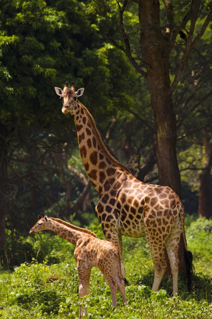Adult female Rothschild´s Giraffe Giraffa camelopardalis rothschildi with young in Murchison Falls National Park, Uganda : Stock Photo