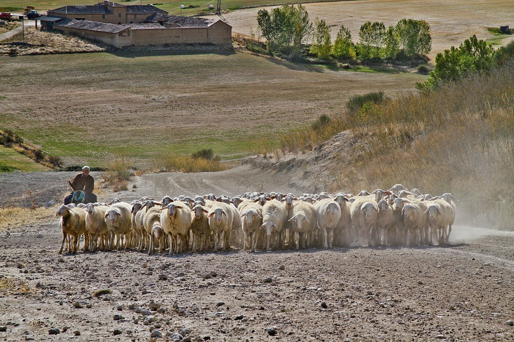 Stock Photo: 1566-1177527 Flock sheep, dogs, and Shepherd riding a donkey , near Urueña, Castile and León, Spain