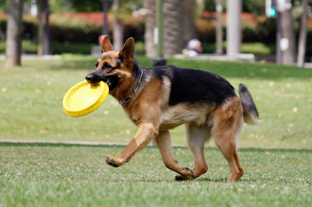 Dog, German Shepherd, play, center of Bilbao, Biscaye, Spain. : Stock Photo