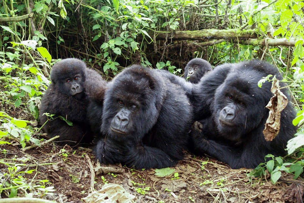 Rwanda, Volcanoes National Park Parc National des Volcans Gorilla family : Stock Photo