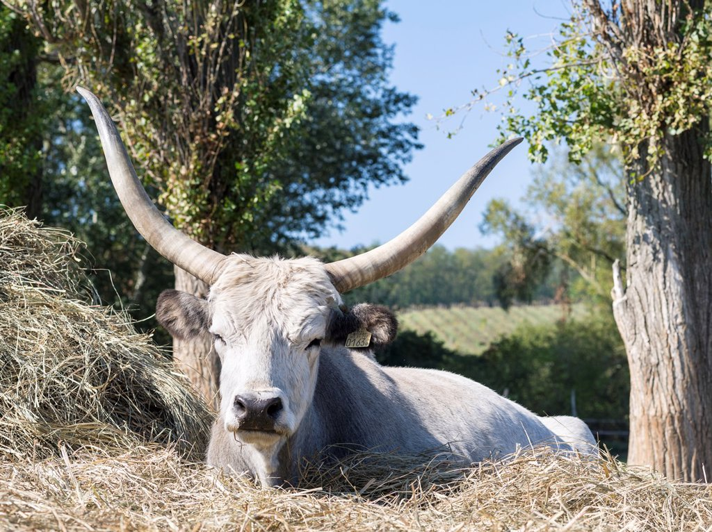 Hungarian Grey Cattle or Hungarian Steppe Cattle bos primigenus hungaricus, an old and hardy rare cattle breed  Europe, Eastern Europe, Hungary, October : Stock Photo