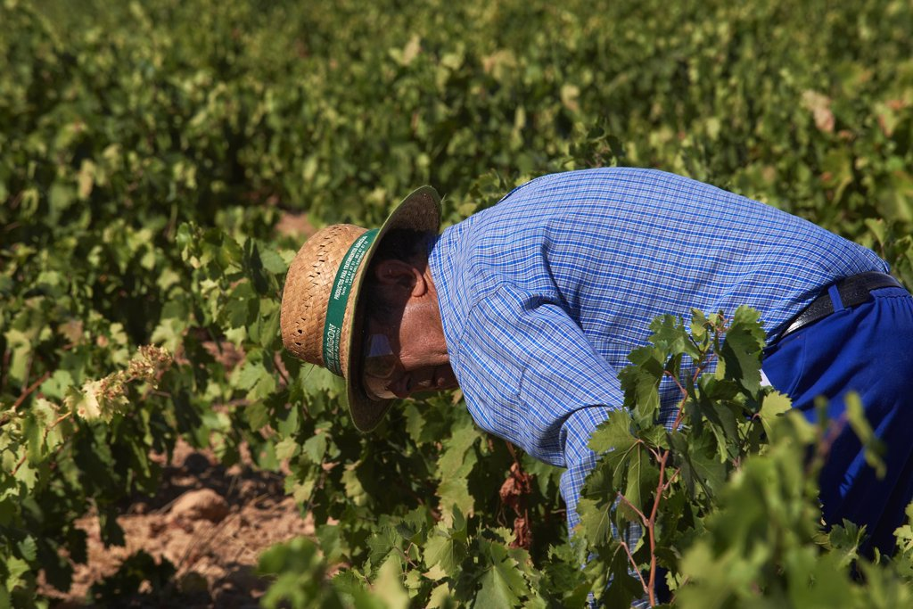 Stock Photo: 1566-1182718 Montilla, Harvesting Pedro Ximenez wine grapes, Bodegas Cabriñana, Vintage in a vineyard in Montilla, Montilla-Moriles area, Cordoba province, Andalusia, Spain