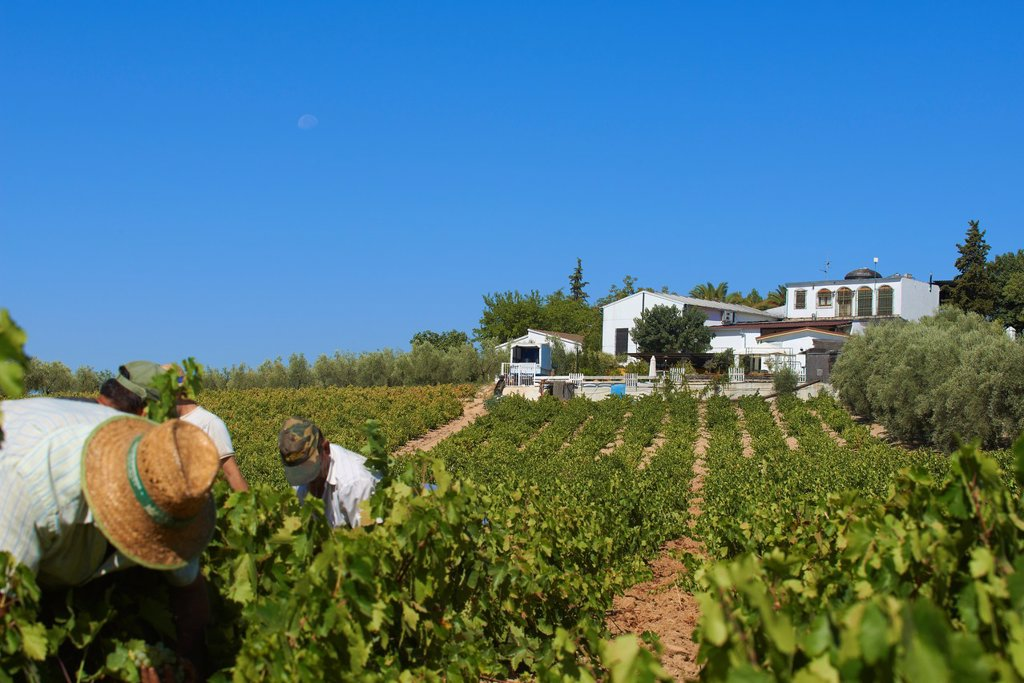 Stock Photo: 1566-1182728 Montilla, Harvesting Pedro Ximenez wine grapes, Bodegas Cabriñana, Vintage in a vineyard in Montilla, Montilla-Moriles area, Cordoba province, Andalusia, Spain