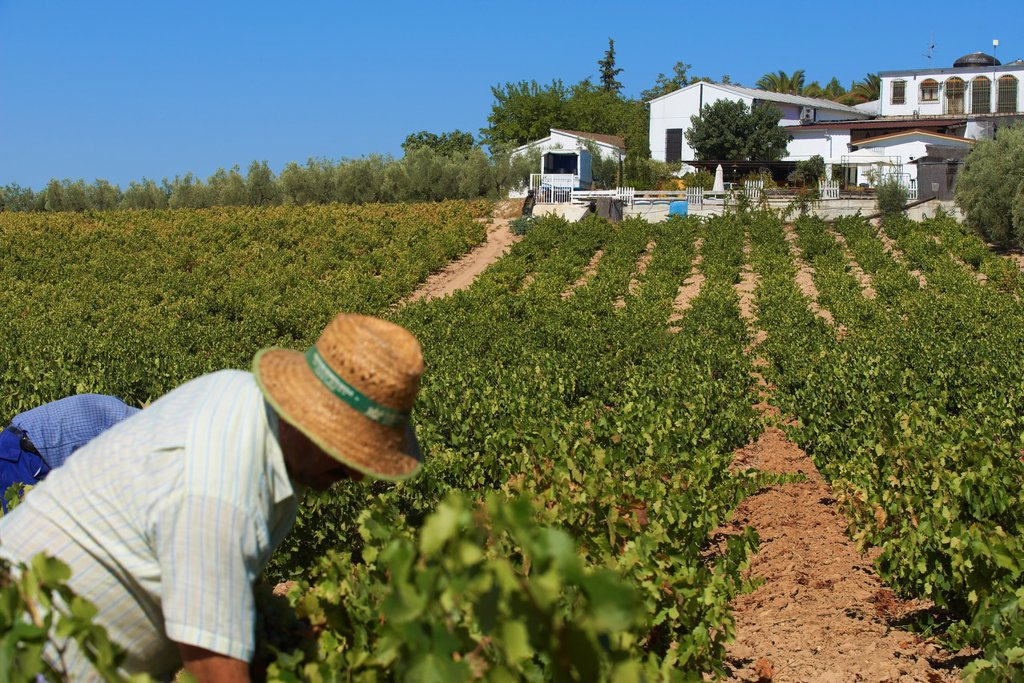 Stock Photo: 1566-1182729 Montilla, Harvesting Pedro Ximenez wine grapes, Bodegas Cabriñana, Vintage in a vineyard in Montilla, Montilla-Moriles area, Cordoba province, Andalusia, Spain