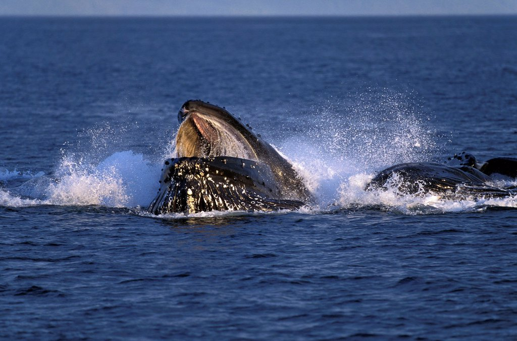 Humpack Whale, megaptera novaeangliae, Group Bubble Net Feeding, Open Mouth to Catch Krill, Alaska : Stock Photo