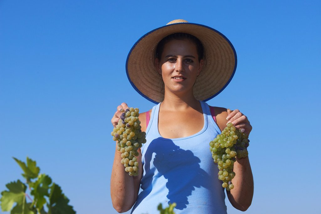 Stock Photo: 1566-1183498 Montilla, Harvesting Pedro Ximenez wine grapes, Bodegas Cabriñana, Vintage in a vineyard in Montilla, Montilla-Moriles area, Cordoba province, Andalusia, Spain