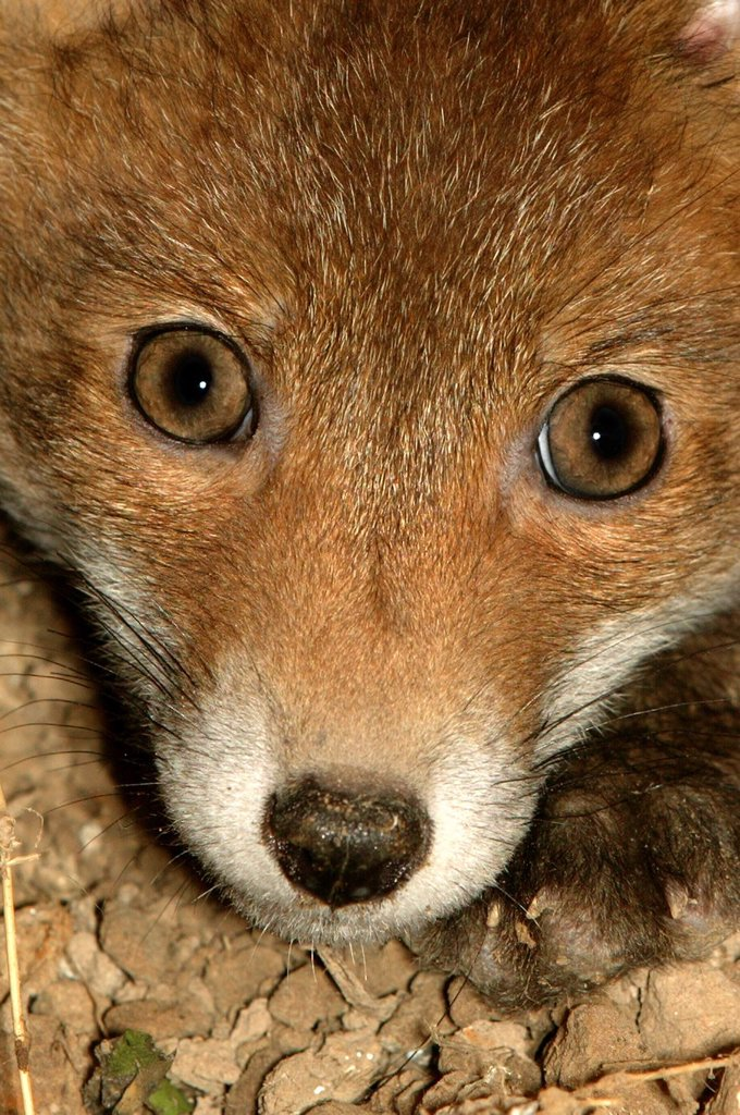 Red Fox, vulpes vulpes, Head of Cub, Close-up, Normandy : Stock Photo