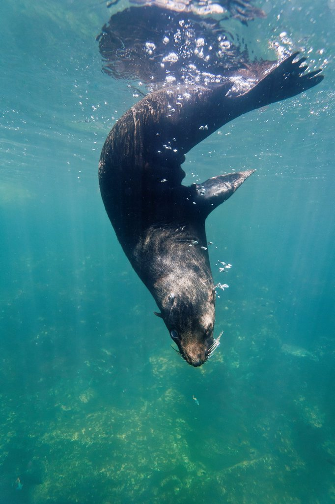 Galapagos fur seal Arctocephalus galapagoensis underwater on Genovesa Island in the Galapagos Island Archipelago, Ecuador : Stock Photo
