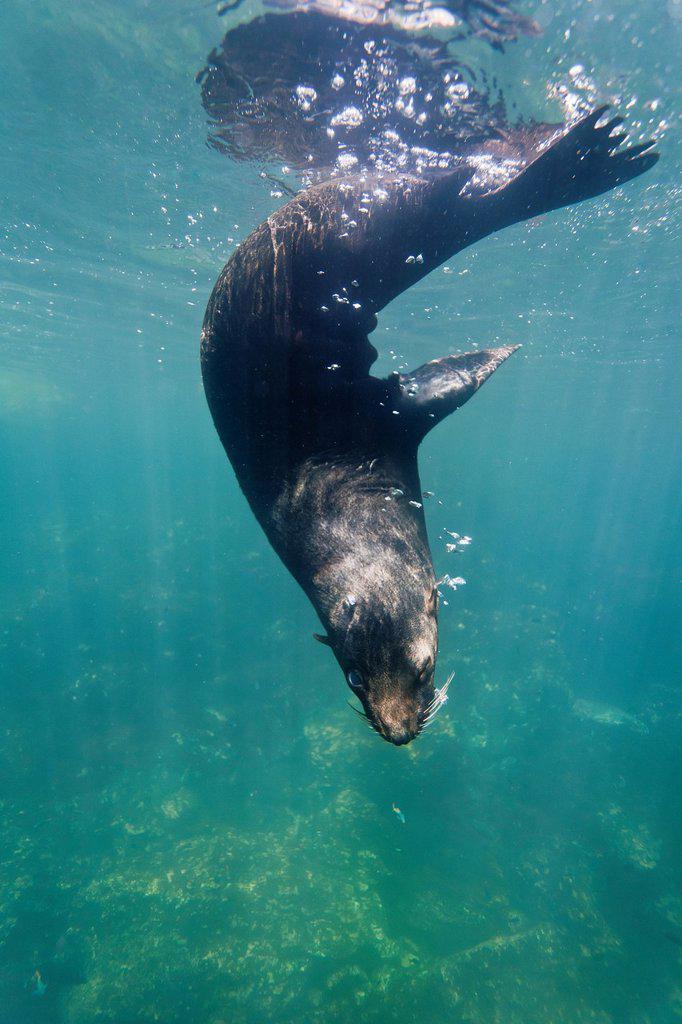 Stock Photo: 1566-1184546 Galapagos fur seal Arctocephalus galapagoensis underwater on Genovesa Island in the Galapagos Island Archipelago, Ecuador