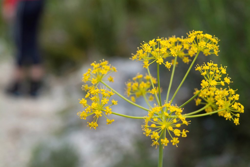 Stock Photo: 1566-1184691 Ferula communis in the Vall de Laguar, Benimaurell province of Alicante, Valencia, Spainh