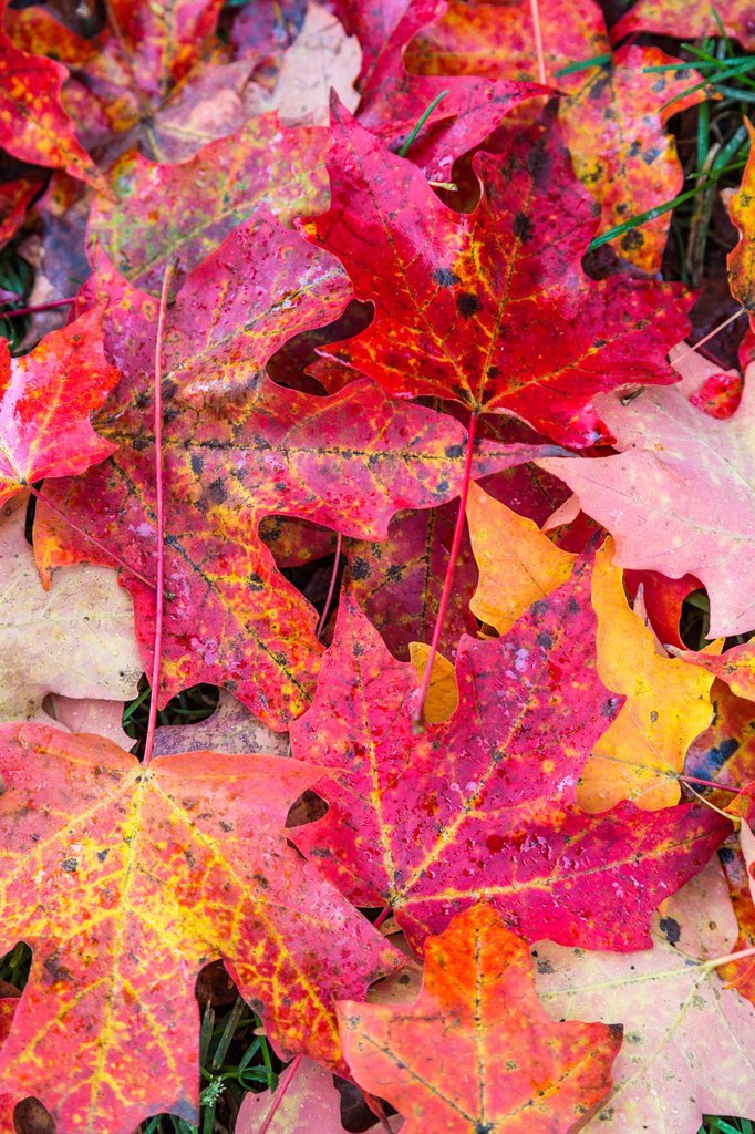 Close up of colorful fallen red leaves, Vermont, USA : Stock Photo