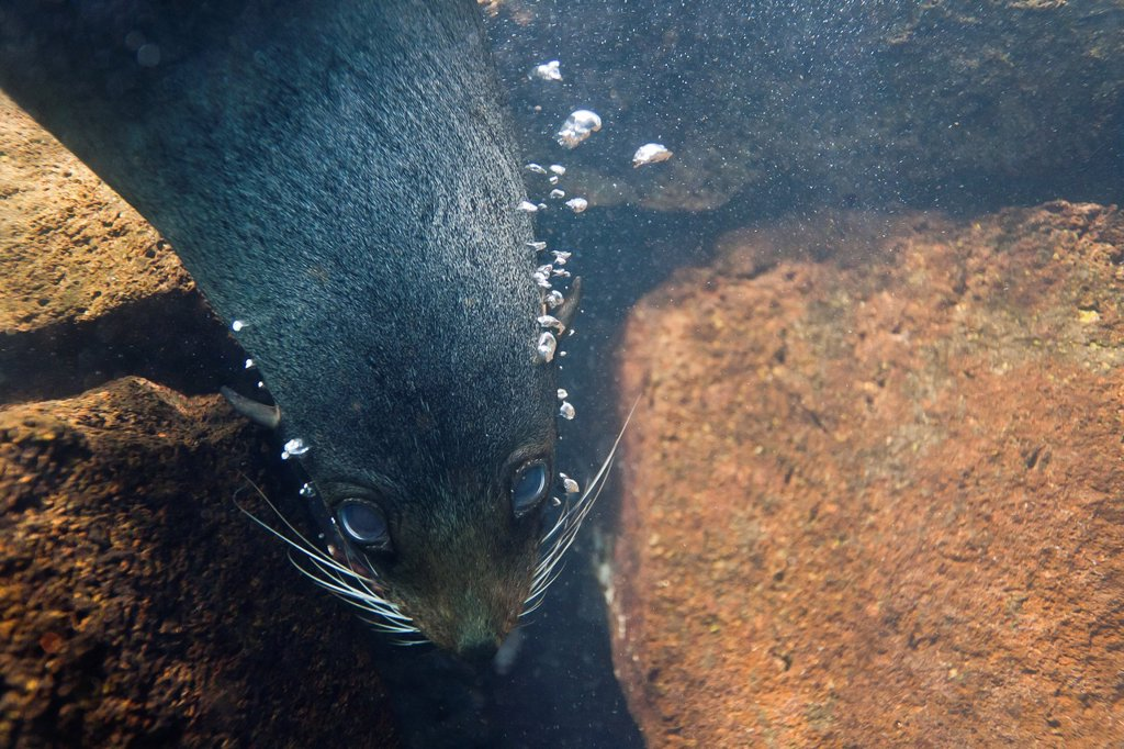 Stock Photo: 1566-1185419 Galapagos fur seal Arctocephalus galapagoensis underwater on Genovesa Island in the Galapagos Island Archipelago, Ecuador