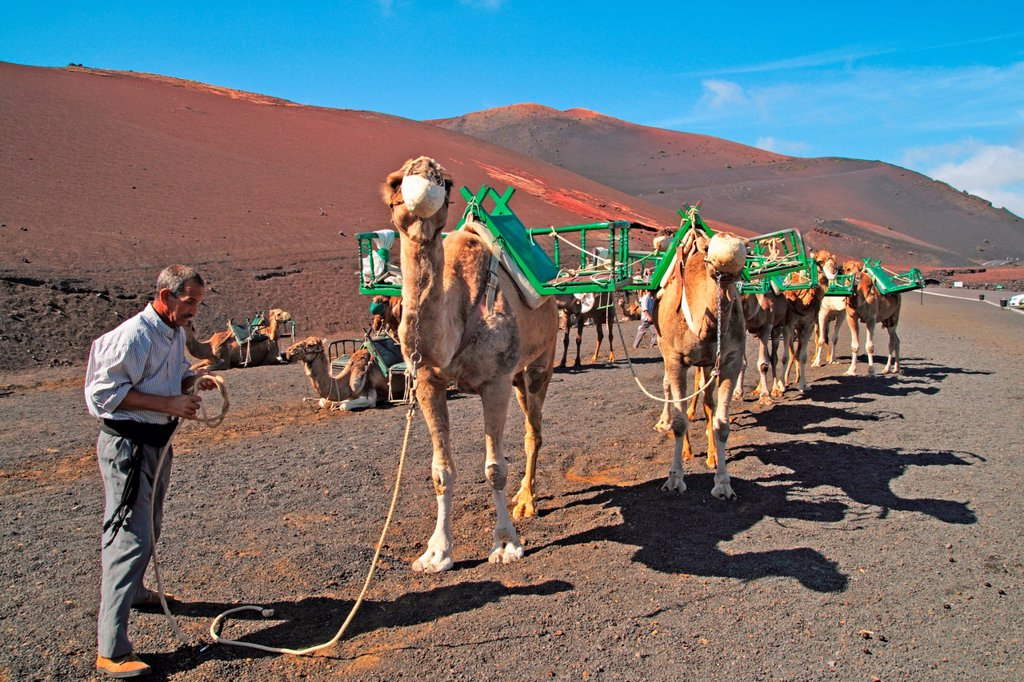 Stock Photo: 1566-1186619 Camels in Timanfaya National Park Lanzarote