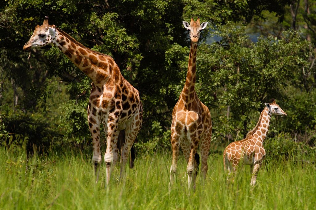 Family group of Rothschild´s Giraffe Giraffa camelopardalis rothschild : Stock Photo