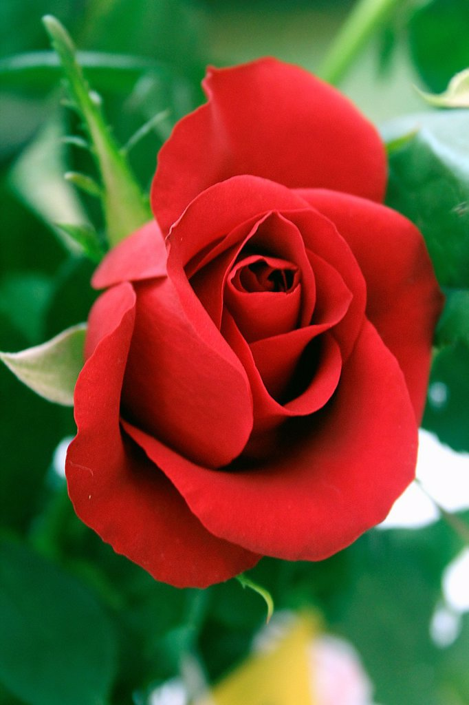 Stock Photo: 1566-1188410 Red Rose