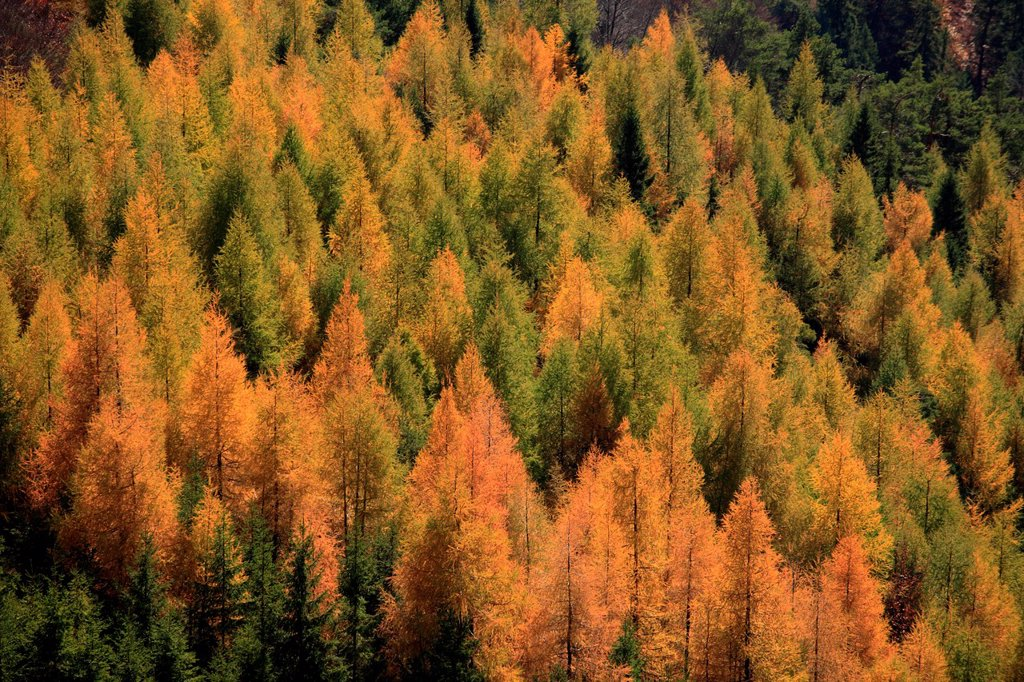 Multicoloured larch forest near the summit of Ostra, NP Velka Fatra, Slovakia : Stock Photo