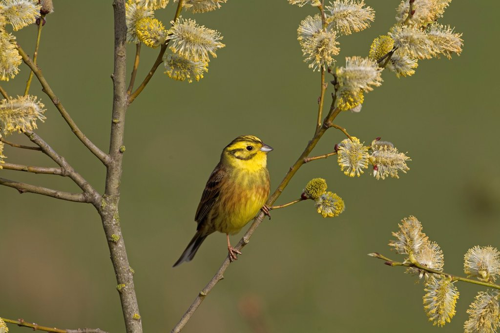 Stock Photo: 1566-1189710 Yellow Hammer Emberiza citinella on pussy willow