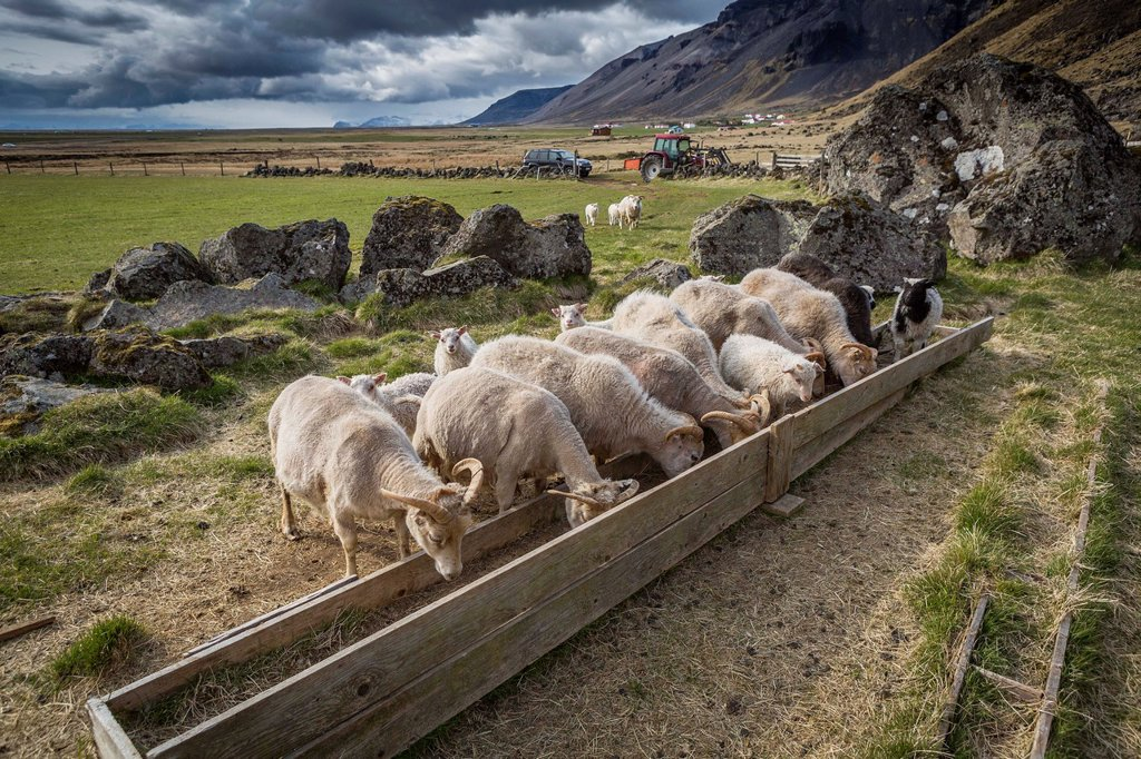 Stock Photo: 1566-1190811 Sheep feeding on farm in Eastern Iceland