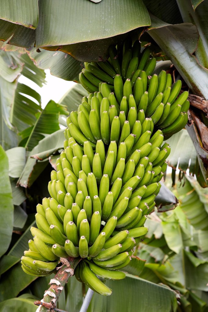 Stock Photo: 1566-1190857 Banana tree planting, Near San andres y Sauces, La Palma, Canary Island, Spain.