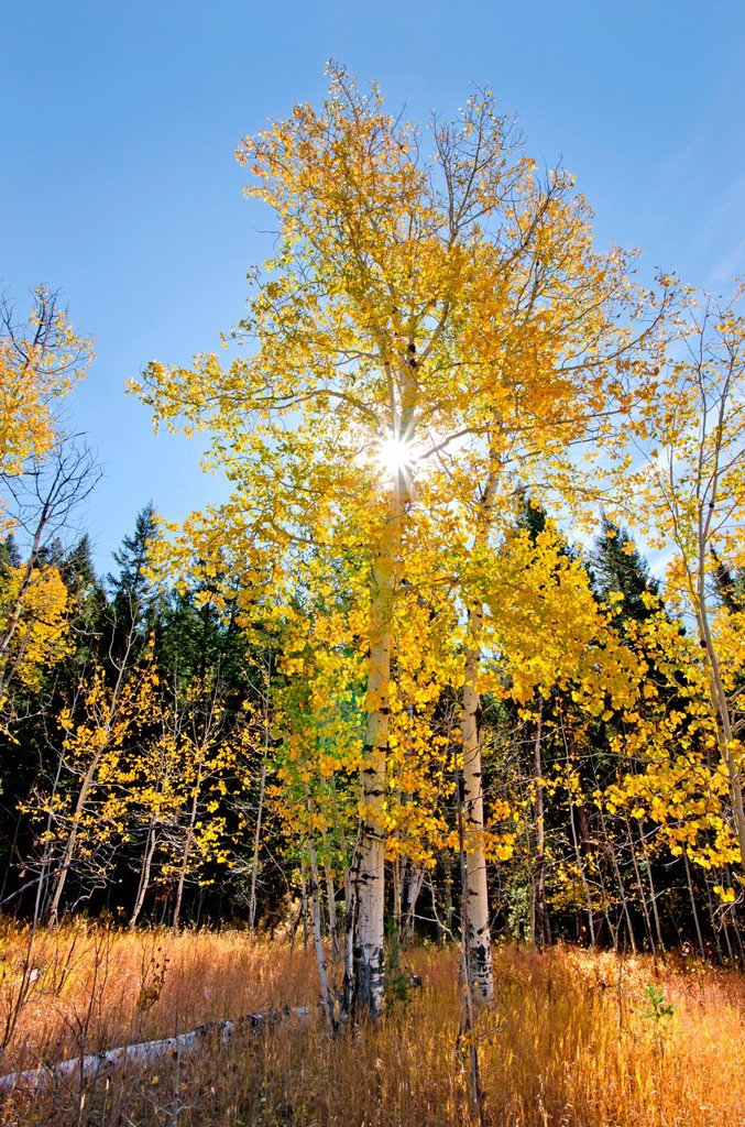 Aspens trees and Fall colors on Blacktail Butte in Grand Teton National Park in northern Wyoming : Stock Photo