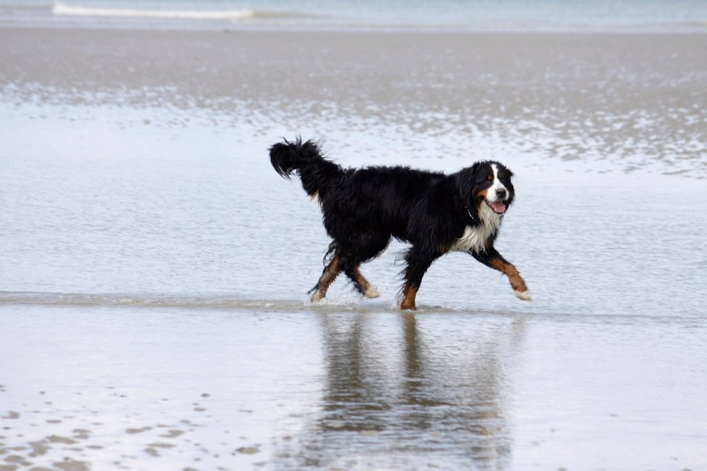 Bernese Mountain on the beach, Dog, Calvados, Basse-Normandie, France. : Stock Photo