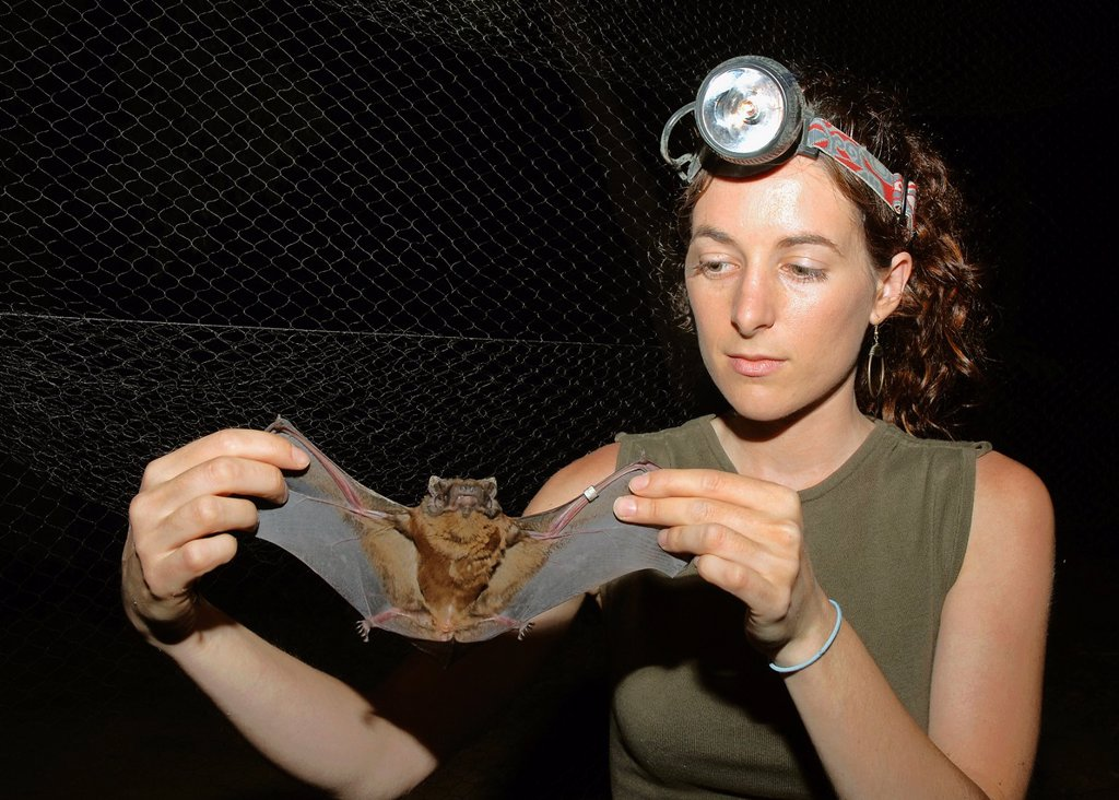 Stock Photo: 1566-1196248 Greater noctule bat Nyctalus lasiopterus, Spanish Higher Council for Scientific Research CSIC, Seville, Spain