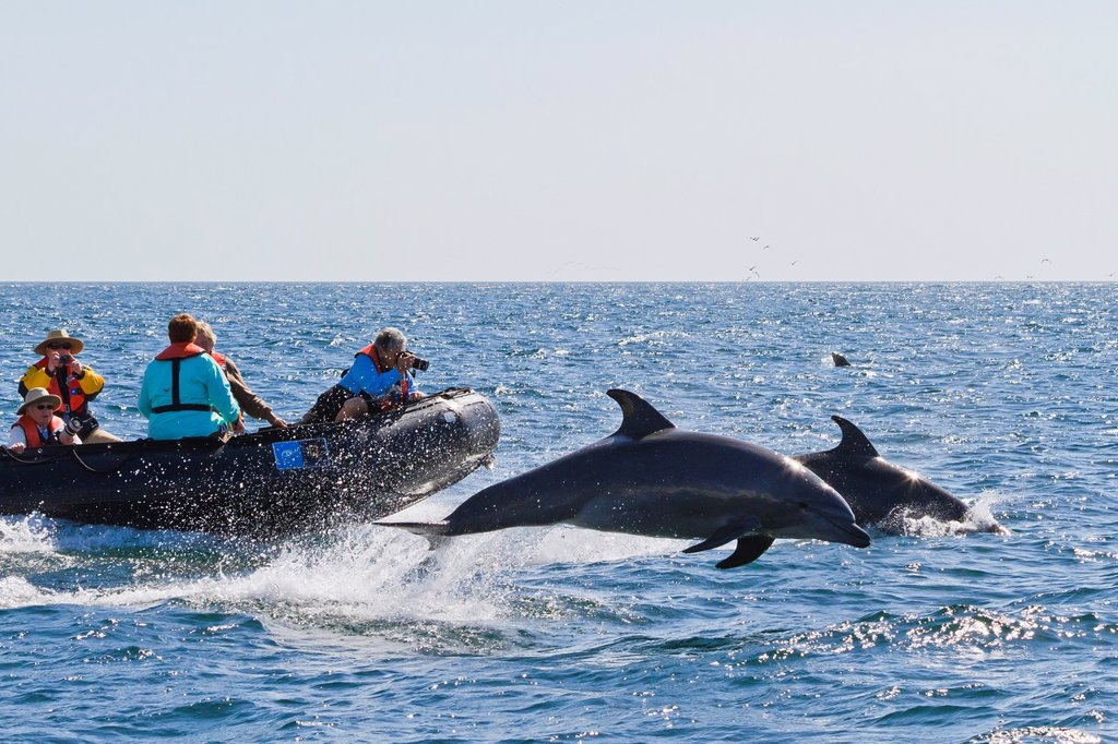 Stock Photo: 1566-1196584 Offshore type bottlenose dolphins Tursiops truncatus surfacing near Zodiac off Isla San Pedro Martir, Gulf of California Sea of Cortez, Baja California Norte, Mexico