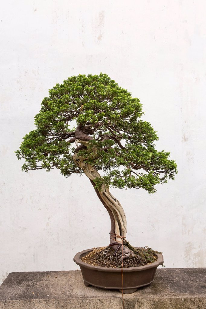 Stock Photo: 1566-1197566 A bonsai tree in the Humble Administrator´s garden in Suzhou, China