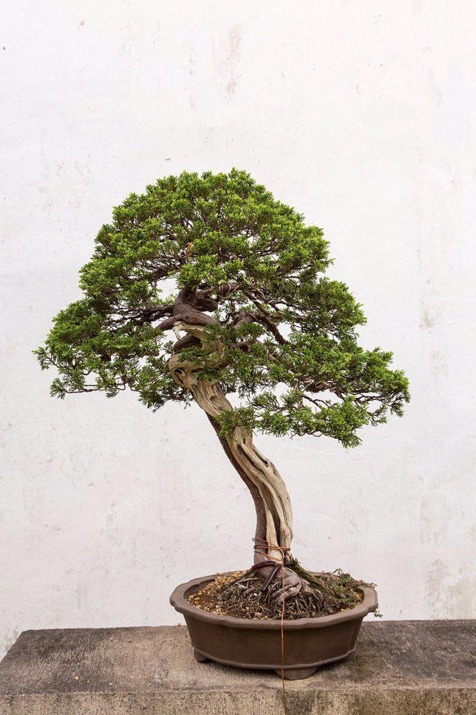 A bonsai tree in the Humble Administrator´s garden in Suzhou, China : Stock Photo