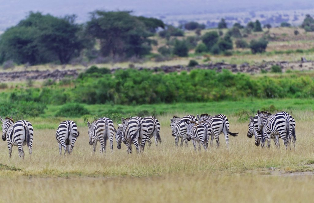 Amboseli National Park Kenya Africa safari zebra wild in reserve Amboseli : Stock Photo