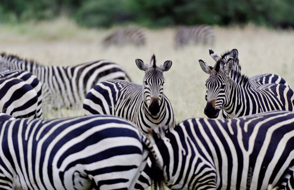 Amboseli National Park Kenya Africa safari zebra wild in reserve Amboseli close up of patterns : Stock Photo