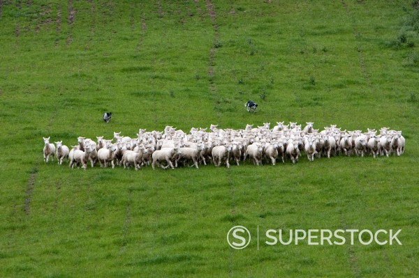 Stock Photo: 1566-1202772 Header dogs gather Romney sheep into flock and drive them home  Masterton, Wairarapa region, north island, New Zealand