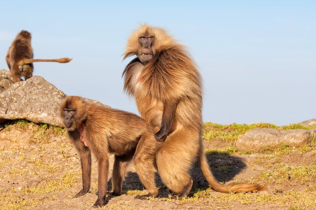 Stock Photo: 1566-1208017 Mating Gelada baboons Theropithecus Gelada, Simien mountains national park, Amhara region, North Ethiopia