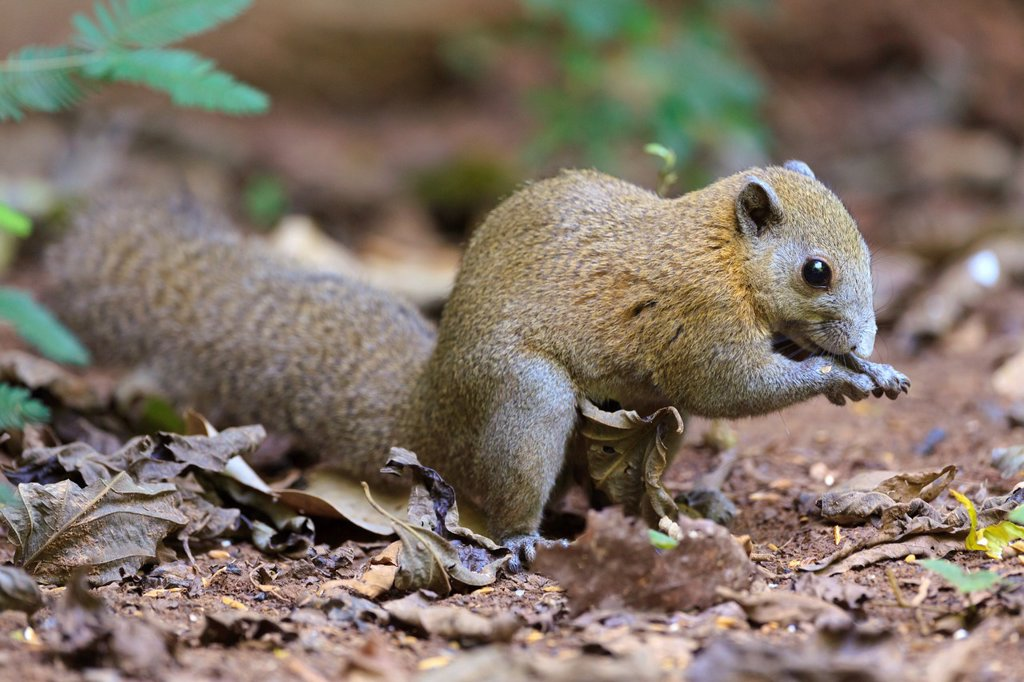 Stock Photo: 1566-1208244 Gray-bellied Squirrel Callosciurus caniceps finding food on the forest floor  Kaeng Krachan National Park  Thailand