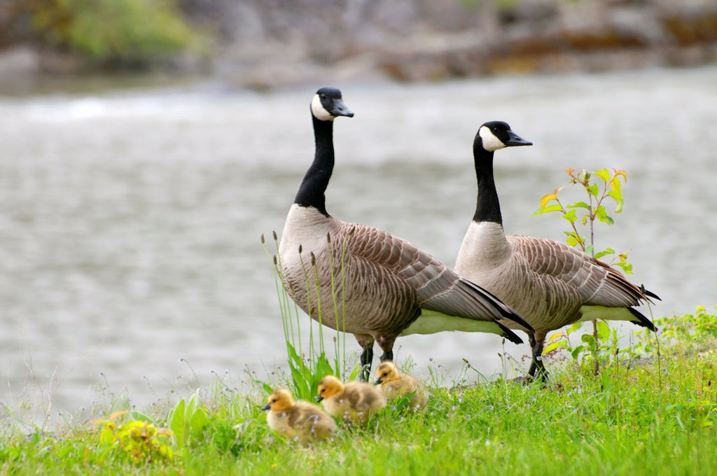 Stock Photo: 1566-1212722 Canada geese Branta canadensis with goslings, Cascade Locks Marine Park, Cascade Locks, Columbia River Gorge National Scenic Area, Oregon