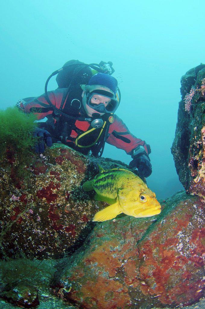 Stock Photo: 1566-1213661 Yellow Rockfish or Three-stripe Rockfish Sebastes Trivittatus Japan sea, Far East, Primorsky Krai, Russian Federation