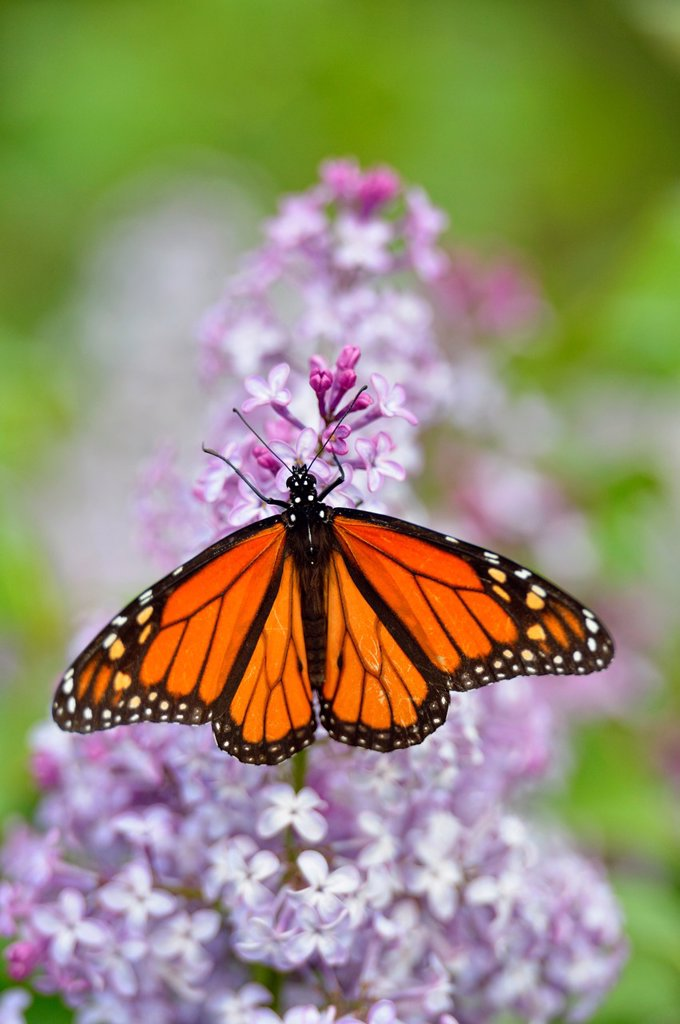 Stock Photo: 1566-1213787 Monarch Danaus plexippus on lilac flowers, Greater Sudbury, Ontario, Canada