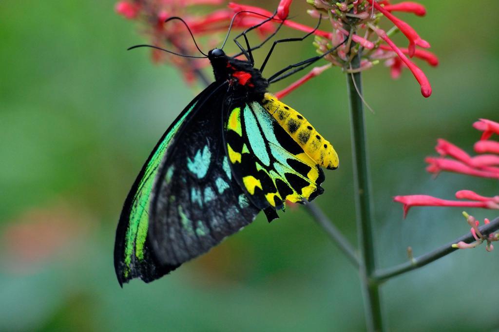 Stock Photo: 1566-1213802 Cairns birdwing Ornithoptera priamus , Niagara Butterfly Conservatory, Niagara Falls, Ontario, Canada