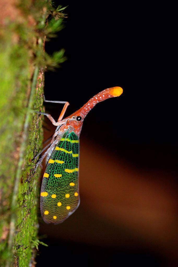 Stock Photo: 1566-1214842 Lantern bug Pyrops canderlaria gunung gading national park, lundu, sarawak, Malaysia, Borneo