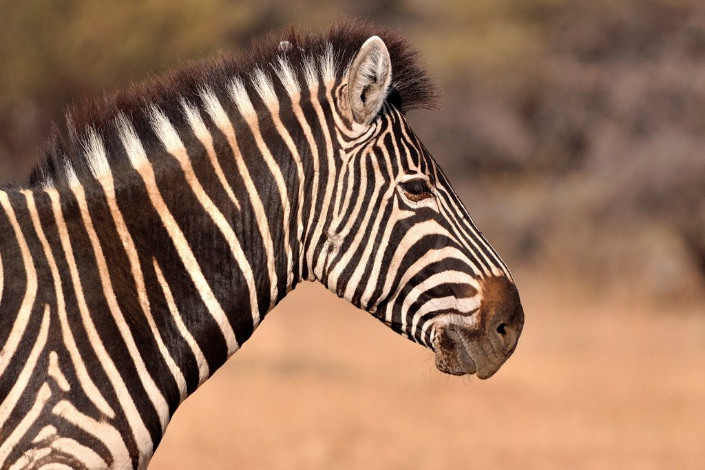 Stock Photo: 1566-1215061 Burchell´s zebra, Equus burchelli, close-up, Kruger National Park, South Africa